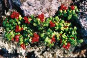photo Garden Flowers Lingonberry, Mountain Cranberry, Cowberry, Foxberry, Vaccinium vitis-idaea red