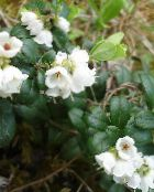 photo Garden Flowers Lingonberry, Mountain Cranberry, Cowberry, Foxberry, Vaccinium vitis-idaea white