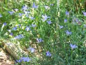 Australian Bluebell, Tall Bluebell