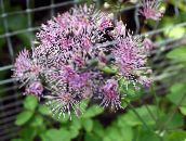 photo Garden Flowers Meadow rue, Thalictrum lilac