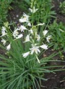 photo Garden Flowers St Bernard's lily, Anthericum liliago white