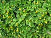 Moneywort, Creeping jenny