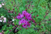 Ironweed
