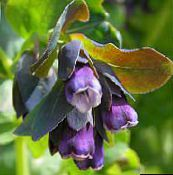 purple Honeywort, Blue Shrimp Plant, Blue Wax Flower
