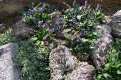purple Wulfenia