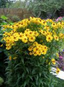 yellow Sneezeweed, Helen's Flower, Dogtooth Daisy