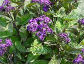 purple Heliotrope, Cherry pie plant