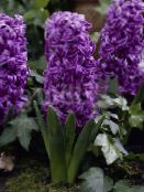 purple Dutch Hyacinth