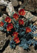 red Sea Poppy, Horned Poppy