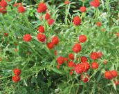 red Globe Amaranth