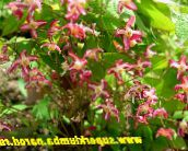 red Longspur Epimedium, Barrenwort