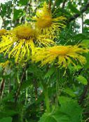 yellow Showy Elecampagne, Elecampane Magnificent