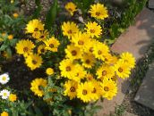 yellow Cape Marigold, African Daisy