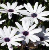 white Cape Marigold, African Daisy