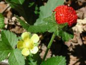 yellow Indian Strawberry, Mock Strawberry