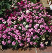 pink Candytuft