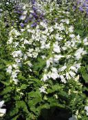 white Campanula, Bellflower