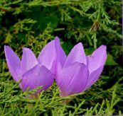 lilac False Autumn Crocus, Showy Colchicum, Naked Ladies, Meadow Saffron