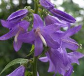 photo Garden Flowers Adenophora, Lady Bells lilac