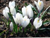 white Early Crocus, Tommasini's Crocus, Snow Crocus, Tommies