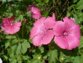 pink Annual Mallow, Rose Mallow, Royal Mallow, Regal Mallow
