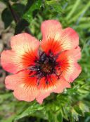 orange Cinquefoil