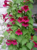 red Twining Snapdragon, Creeping Gloxinia