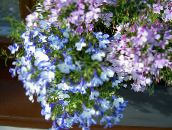 light blue Edging Lobelia, Annual Lobelia, Trailing Lobelia