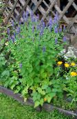 light blue Agastache, Hybrid Anise Hyssop, Mexican Mint