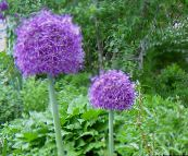 purple Ornamental Onion