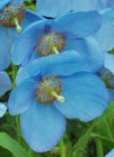 light blue Himalayan blue poppy
