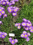 purple Seaside Daisy, Beach Aster, Flebane