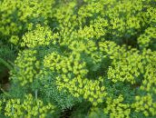 yellow Cypress Spurge, Bonaparte's Crown, Graveyard Moss