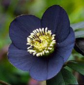 black Christmas Rose, Lenten Rose