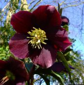 burgundy Christmas Rose, Lenten Rose