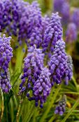 purple Grape hyacinth