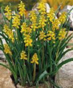 yellow Grape hyacinth
