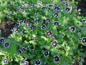 black Nemophila, Baby Blue-eyes