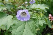 light blue Shoofly Plant, Apple of Peru