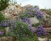 light blue Aubrieta, Rock Cress