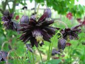black Columbine flabellata, European columbine