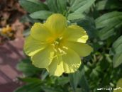 yellow White Buttercup, Pale Evening Primrose