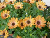 orange African Daisy, Cape Daisy
