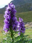 purple Monkshood