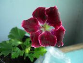 burgundy Hooded-leaf Pelargonium, Tree Pelargonium, Wilde Malva