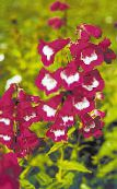 burgundy Foothill Penstemon, Chaparral Penstemon, Bunchleaf Penstemon