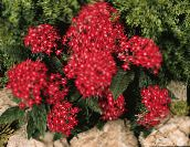 red Egyptian star flower, Egyptian Star Cluster