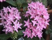 pink Egyptian star flower, Egyptian Star Cluster