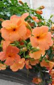 photo Garden Flowers Petunia orange