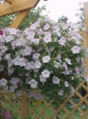 photo Garden Flowers Petunia white
